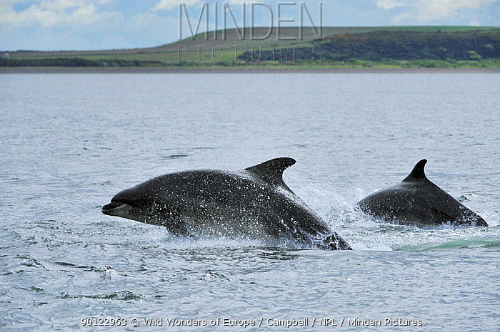 Two Bottlenosed dolphins (Tursiops truncatus) surfacing, Moray Firth, Nr Inverness, Scotland, June 2008  -  WWE/ Campbell/ npl