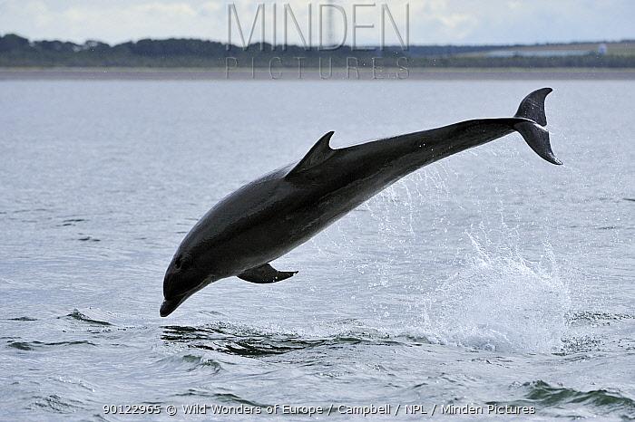Bottlenosed dolphin (Tursiops truncatus) jumping, Moray Firth, Nr Inverness, Scotland, June 2008  -  WWE/ Campbell/ npl