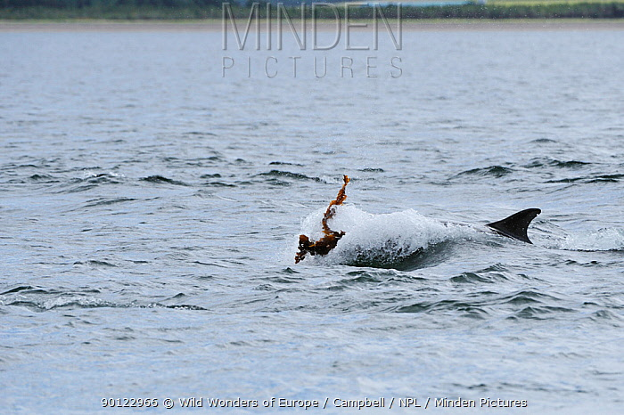 Bottlenosed dolphin (Tursiops truncatus) playing with kelp, Moray Firth, Nr Inverness, Scotland, June 2008  -  WWE/ Campbell/ npl