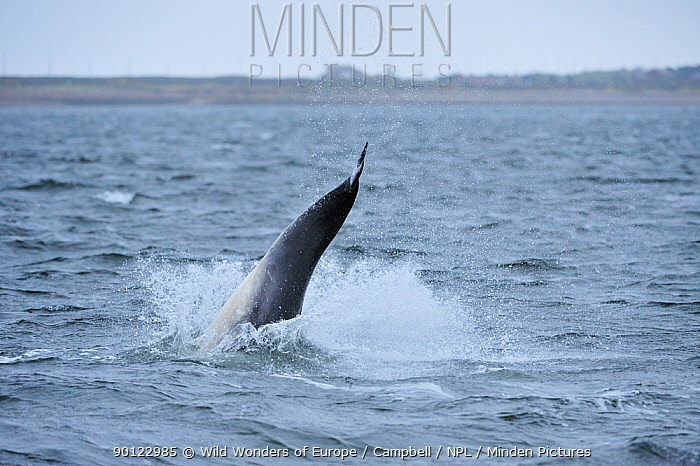 Bottlenosed dolphin (Tursiops truncatus) jumping, Moray Firth, Nr Inverness, Scotland, April 2009, Sequence 5, 6  -  WWE/ Campbell/ npl