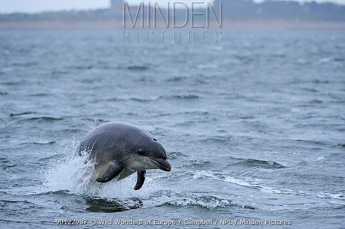Bottlenosed dolphin (Tursiops truncatus) leaping, Moray Firth, Nr Inverness, Scotland, April 2009  -  WWE/ Campbell/ npl