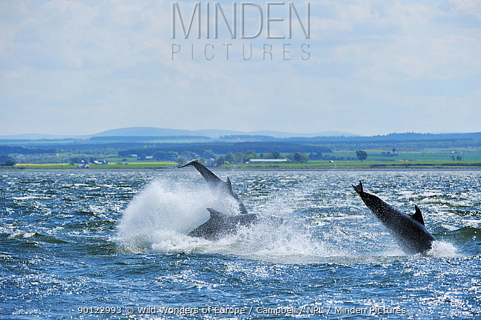 Bottlenosed dolphins (Tursiops truncatus) breaching, Moray Firth, Nr Inverness, Scotland, May 2009  -  WWE/ Campbell/ npl