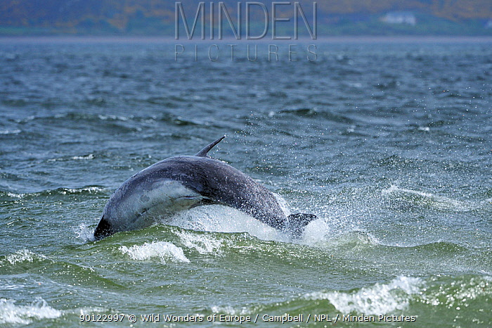 Bottlenosed dolphin (Tursiops truncatus) jumping, Moray Firth, Nr Inverness, Scotland, May 2009  -  WWE/ Campbell/ npl