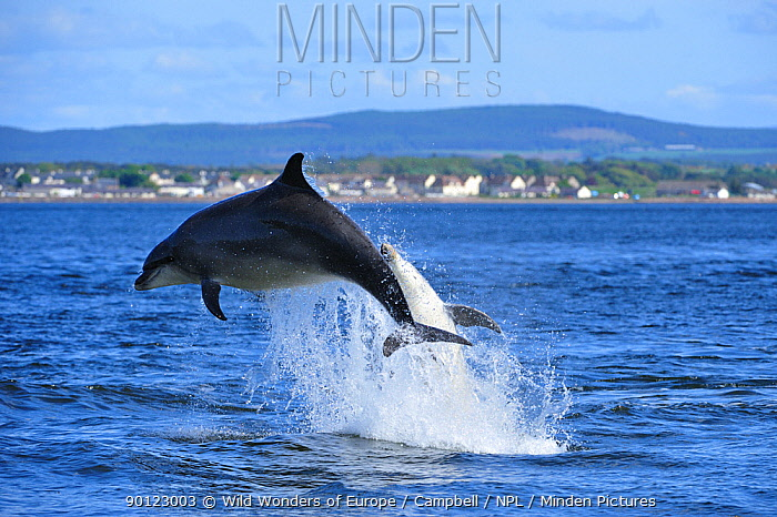 Pair of Bottlenosed dolphins (Tursiops truncatus) breaching, Moray Firth, Nr Inverness, Scotland, May 2009, sequence 2, 4  -  WWE/ Campbell/ npl