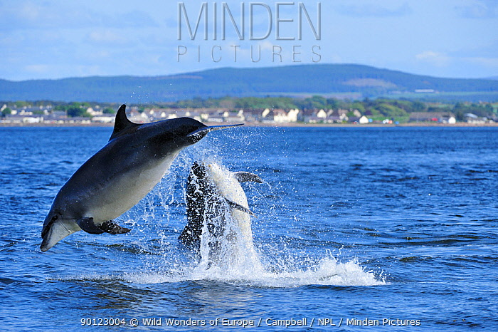 Pair of Bottlenosed dolphins (Tursiops truncatus) breaching, Moray Firth, Nr Inverness, Scotland, May 2009, sequence 3, 4  -  WWE/ Campbell/ npl
