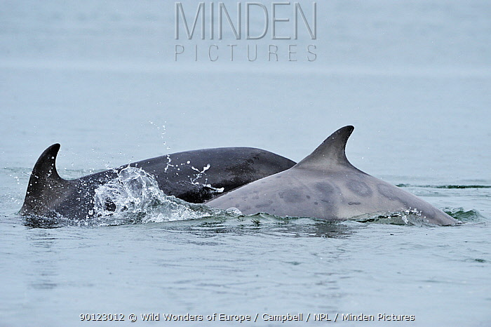 Female Bottlenosed dolphin (Tursiops truncatus) with calf surfacing, Moray Firth, Nr Inverness, Scotland, May 2009  -  WWE/ Campbell/ npl