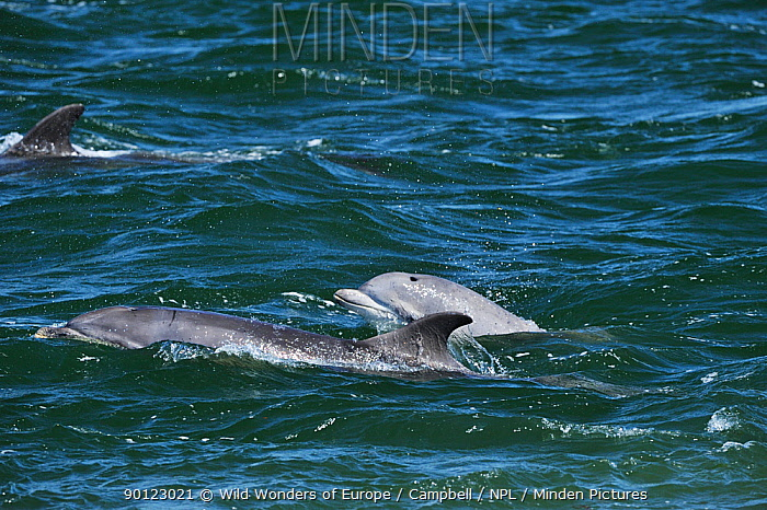 Three Bottlenosed dolphins (Tursiops truncatus) surfacing, Moray Firth, Nr Inverness, Scotland, May 2009  -  WWE/ Campbell/ npl