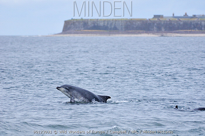 Bottlenosed dolphins (Tursiops truncatus) surfacing, Moray Firth, Nr Inverness, Scotland, July 2009  -  WWE/ Campbell/ npl