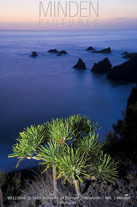 Verode (Kleinia neriifolia) growing on cliff top, Punta Larga, South La Palma, Canary Islands, Spain, March 2009  -  WWE/ Relanzon/ npl