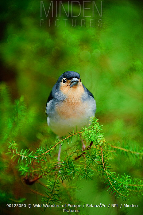 Male Chaffinch (Fringilla coelebs) perched on branch, Los Tilos National Park, La Palma, Canary Islands, Spain, March 2009  -  WWE/ Relanzon/ npl