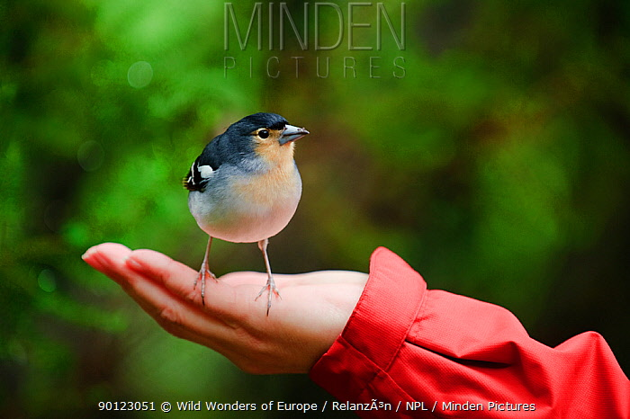 Male Chaffinch (Fringilla coelebs) on a person's hand, Los Tilos National Park, La Palma, Canary Islands, Spain, March 2009  -  WWE/ Relanzon/ npl