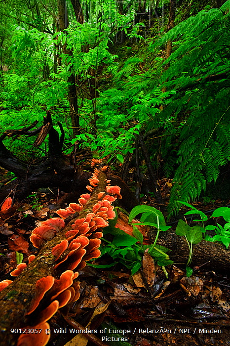 Laurisilva forest floor, with fungi growing on fallen tree, Tilos Natural Park, La Palma, Canary Islands, Spain, March 2009  -  WWE/ Relanzon/ npl