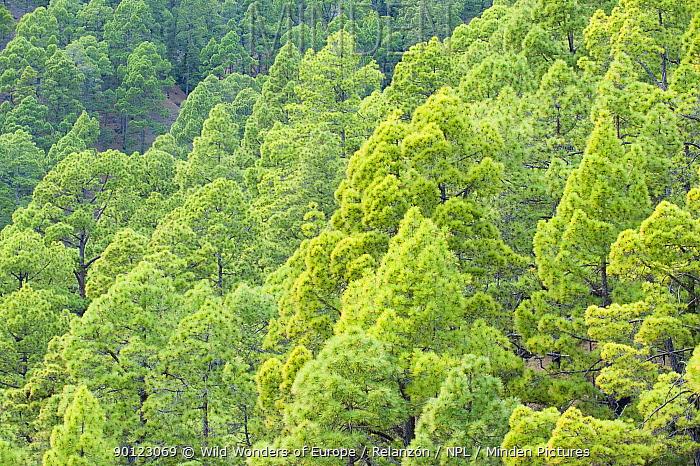 Canary pine (Pinus canariensis) forest, Caldera de Taburiente National Park, La Palma, Canary Islands, Spain, March 2009  -  WWE/ Relanzon/ npl