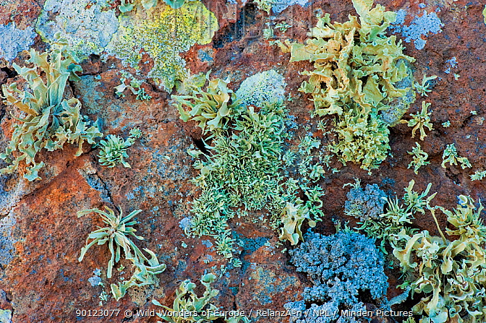 Lichens growing on rock, Timanfaya National Park, Lanzarote, Canary Islands, Spain, March 2009  -  WWE/ Relanzon/ npl