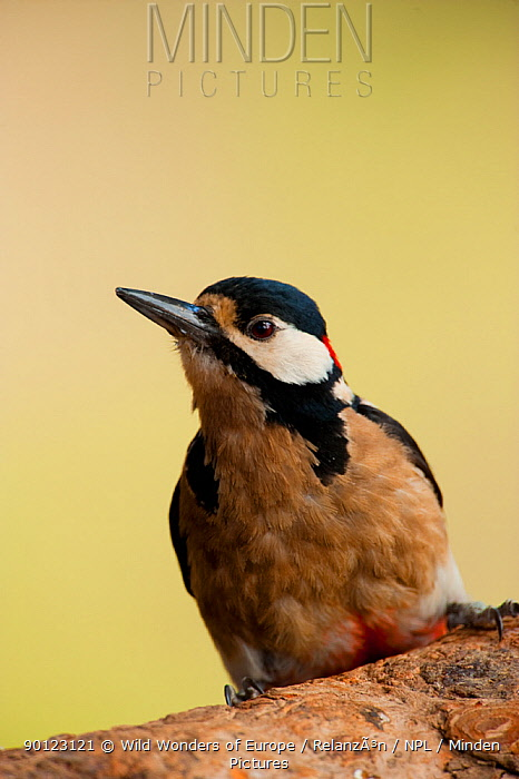 Canarian great spotted woodpecker (Dendrocopos major canariensis) portrait, Corona Forestal Natural Park, Tenerife, Canary Islands, Spain, May 2009  -  WWE/ Relanzon/ npl