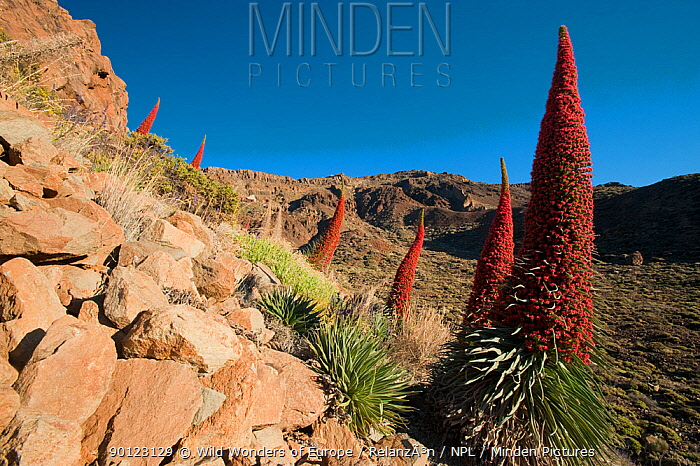 Red giant tajinaste, Mount Teide bugloss (Echium wildpretii) flowers, Teide National Park, Tenerife, Canary Islands, May 2009  -  WWE/ Relanzon/ npl