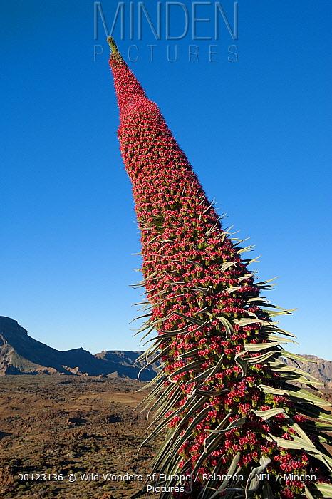 Red giant tajinaste, Mount Teide bugloss (Echium wildpretii) flower, Teide National Park, Tenerife, Canary Islands, May 2009  -  WWE/ Relanzon/ npl