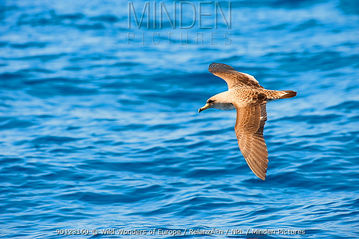 Cory's Shearwater (Calonectris diomedea) in flight over sea, Canary Islands, May 2009  -  WWE/ Relanzon/ npl