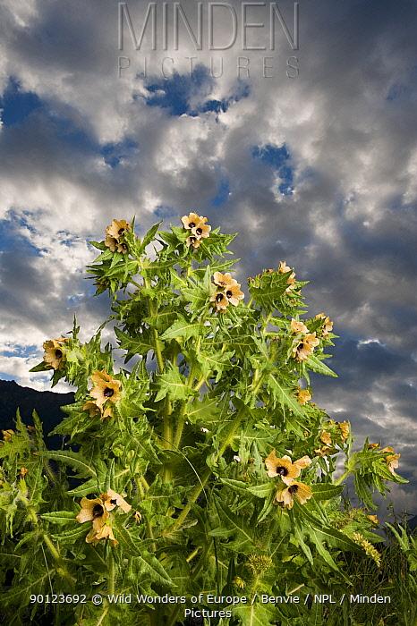 Henbane (Hyoscyamus niger) in flower, Queyras Natural Park, France, May 2009  -  WWE/ Benvie/ npl
