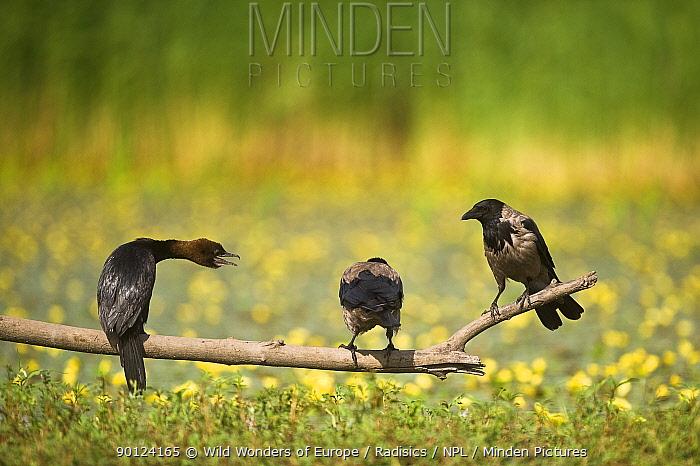 Pygmy cormorant (Phalacrocorax pygmeus) and two Hooded crows (Corvus cornix) on a branch, Hortobagy National Park, Hungary, July 2009  -  WWE/ Radisics/ npl