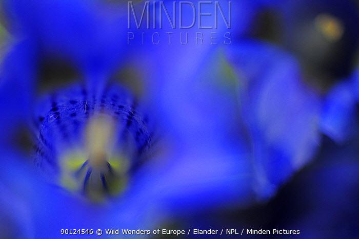 Stemless gentian (Gentiana acaulis) close-up of flower, El Ilempo, Canillo, Andorra, June 2009  -  WWE/ Elander/ npl