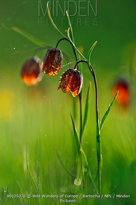 Checkered lily (Fritillaria tendia) in flower, Forca Canapine, Monti Sibillini National Park, Umbria, Italy, May 2009  -  WWE/ Bartocha/ npl