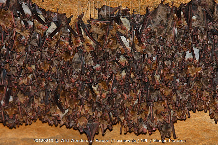 Colony of Lesser mouse eared bats (Myotis blythii) roosting in cave, Bagerova Steppe, Kerch Peninsula, Crimea, Ukraine, July 2009  -  WWE/ Lesniewski/ npl