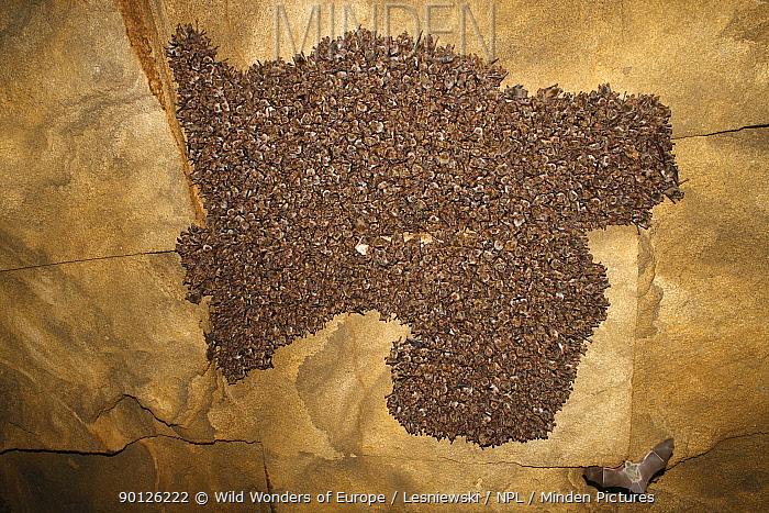 Lesser mouse eared bat (Myotis blythii) colony roosting in cave, Bagerova Steppe, Kerch Peninsula, Crimea, Ukraine, July 2009  -  WWE/ Lesniewski/ npl