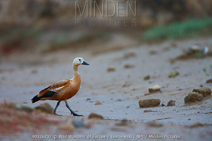 Ruddy shelduck (Tadorna ferruginea) in a dried out stream, Bagerova Steppe, Kerch Peninsula, Crimea, Ukraine, July 2009  -  WWE/ Lesniewski/ npl