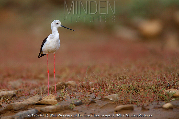 Black winged stilt (Himantopus himantopus) by a small pool in a dried out stream, Bagerova Steppe, Kerch Peninsula, Crimea, Ukraine, July 2009  -  WWE/ Lesniewski/ npl