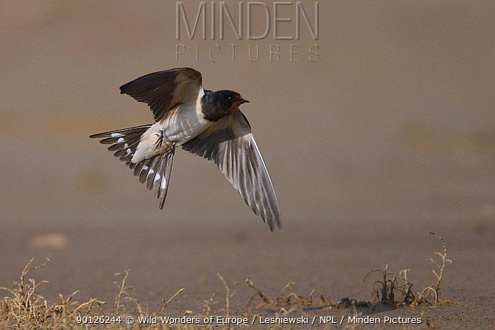Barn swallow (Hirundo rustica) in flight, Bagerova Steppe, Kerch Peninsula, Crimea, Ukraine, July 2009  -  WWE/ Lesniewski/ npl