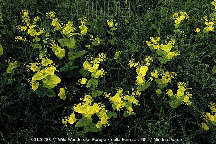 Perfoliate alexanders (Smyrnium perfoliatum) flowers and Hairy vetch (Vicia villosa) Bastasi area, Northern Livanjsko Polje (karst plateau) Bosnia and Herzegovina, May 2009  -  WWE/ della Ferrera/ npl