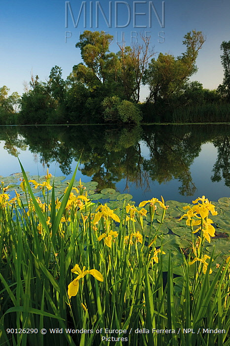 Yellow flag iris (Iris pseudacorus) flowers and Yellow water lily (Nuphar lutea) leaves on water, with White willow (Salix alba) trees along a channel in the Hutovo Blato Nature Park, Bosnia and Herzegovina, May 2009  -  WWE/ della Ferrera/ npl
