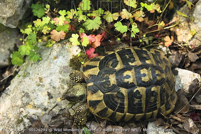 Hermann's, Dalmatian tortoise (Testudo hermanni hercegovinensis) near Svitava Lake, Hutovo Blato Nature Park, Bosnia and Herzegovina, May 2009  -  WWE/ della Ferrera/ npl