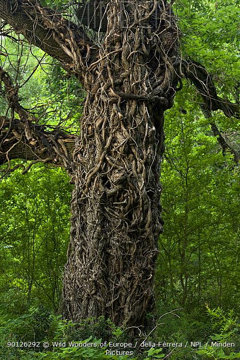 Pedunculate oak (Quercus robur) covered in stems of Common ivy (Hedera helix) Hutovo Blato Nature Park, Bosnia and Herzegovina, May 2009  -  WWE/ della Ferrera/ npl
