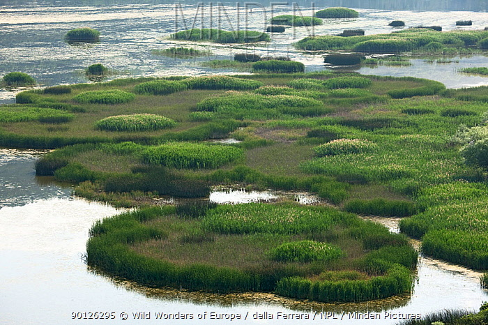 Reed (Phragmites australis) islands, Svitavsko Lake, Hutovo Blato Nature Park, Bosnia and Herzegovina, May 2009  -  WWE/ della Ferrera/ npl