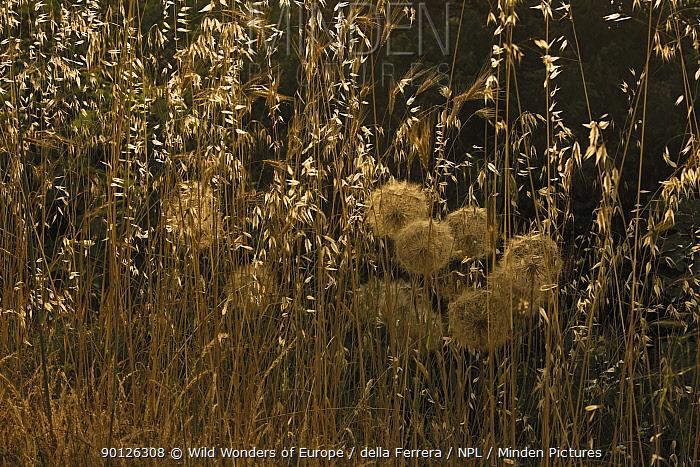 Goat's beard (Tragopogon pratensis) and winter wild oat (Avena sterilis) in seed, Neretva river delta, Dalmatia region, Croatia, May 2009  -  WWE/ della Ferrera/ npl