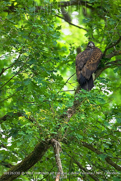 Juvenile White tailed eagle (Haliaeetus albicilla) in an Oak forest, Lonjsko Polje Nature Park, Sisack-Moslavina county, Slavonia region, Posavina area, Croatia, June 2009  -  WWE/ della Ferrera/ npl