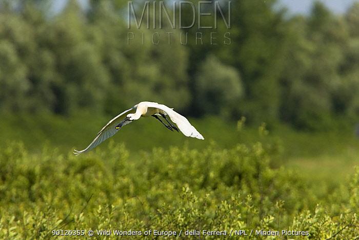 Spoonbill (Platalea leucorodia) in flight over Krapje dol heronry, near Krapje village, Lonjsko Polje Nature Park, Ramsar Site, Sisack-Moslavina county, Slavonia region, Posavina area, Croatia, June 2009  -  WWE/ della Ferrera/ npl