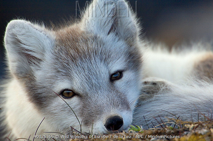 Arctic fox (Alopex lagopus) portrait, Trygghamna, Svalbard, Norway, July 2008 BOOK and WWE OUTDOOR EXHIBITION NOT AVAILABLE FOR GREETING CARDS OR CALENDARS Wild Wonders kids book  -  WWE/ de la Lez/ npl
