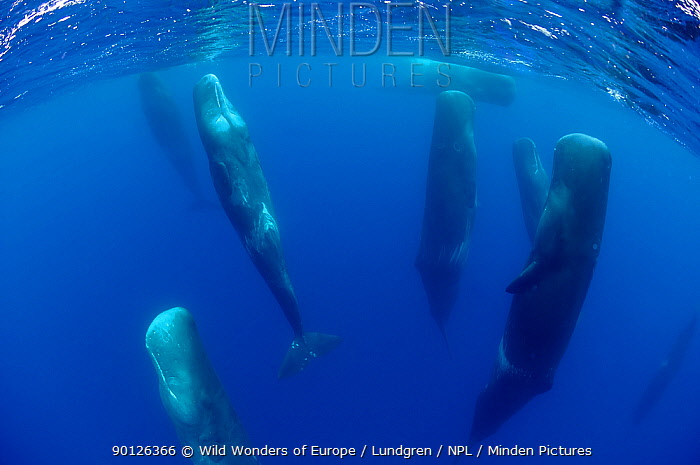 Sperm whales (Physeter macrocephalus) resting, Pico, Azores, Portugal, June 2009 BOOK and WWE OUTDOOR EXHIBITION NOT AVAILABLE FOR GREETING CARDS OR CALENDARS  -  WWE/ Lundgren/ npl