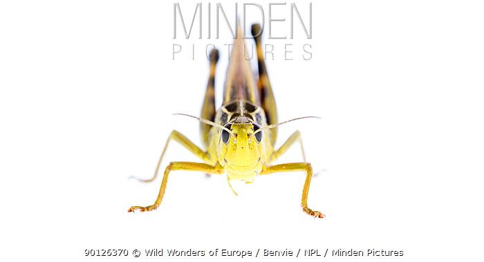 Grasshopper (Arcyptera fusca) male, Fliess, Naturpark Kaunergrat, Tirol, Austria, July 2008 WWE OUTDOOR EXHIBITION NOT AVAILABLE FOR GREETING CARDS OR CALENDARS  -  WWE/ Benvie/ npl