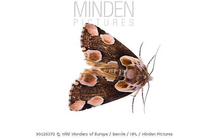 Peach blossom moth (Thyatria batis) Fliess, Naturpark Kaunergrat, Tirol, Austria, July 2008 WWE OUTDOOR EXHIBITION NOT AVAILABLE FOR GREETING CARDS OR CALENDARS  -  WWE/ Benvie/ npl