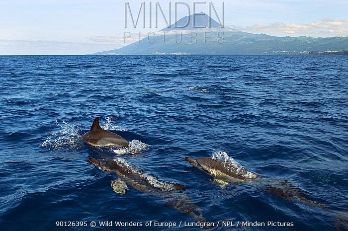 Common dolphins (Delphinus delphis) porpoising, Pico, Azores, Portugal, June 2009  -  WWE/ Lundgren/ npl