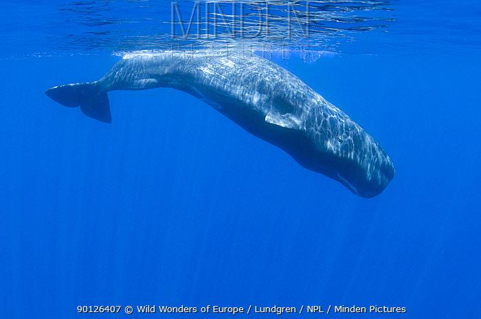 Sperm whale (Physeter macrocephalus) diving, Pico, Azores, Portugal, June 2009  -  WWE/ Lundgren/ npl