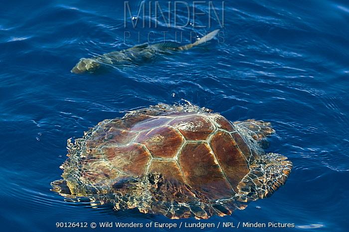 Loggerhead turtle (Caretta caretta) swimming past a fish, Pico, Azores, Portugal, June 2009  -  WWE/ Lundgren/ npl
