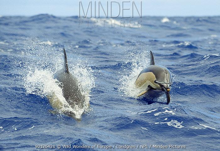 Two Common dolphins (Delphinus delphis) porpoising, Pico, Azores, Portugal, June 2009  -  WWE/ Lundgren/ npl