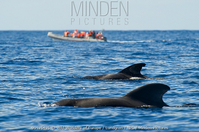 Two Short finned pilot whales (Globicephala macrorhynchus) surfacing with a small whale watching boat in the distance, Pico, Azores, Portugal, June 2009  -  WWE/ Lundgren/ npl