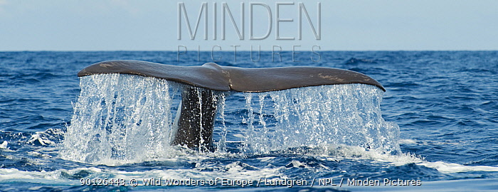 Sperm whale (Physeter macrocephalus) diving, Pico, Azores, Portugal, June 2009  -  WWE/ Lundgren/ npl