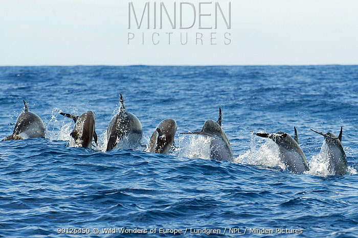 Rear view of Atlantic spotted dolphins (Stenella frontalis) porpoising, Pico, Azores, Portugal, June 2009  -  WWE/ Lundgren/ npl